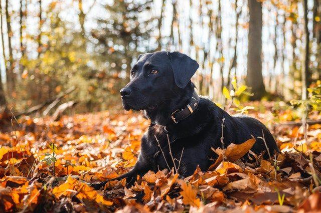 Todas las razas de perros : Labrador retriever