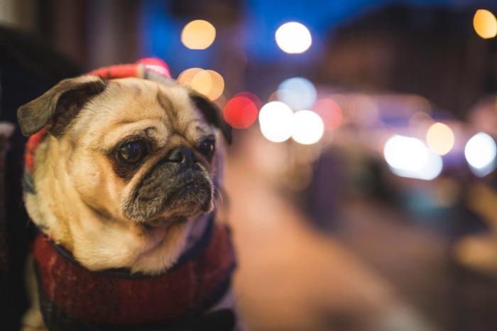 Todas las razas de perros : Pug