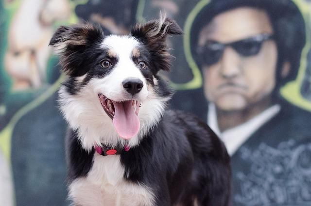 Todas las razas de perros : Border Collie