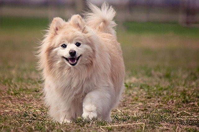 Todas las razas de perros : Pomerania