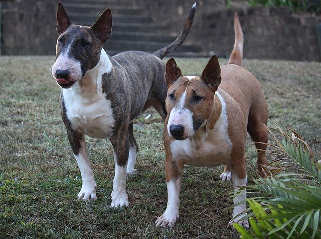 características del bull terrier