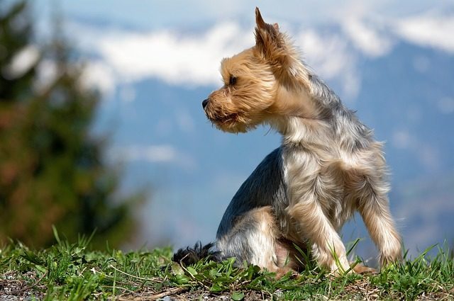 lo que debes saber sobre los yorkshire terrier