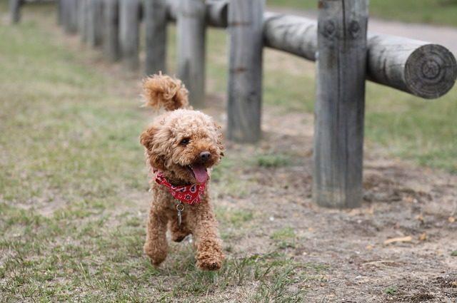 Todas las razas de perros : Poodle
