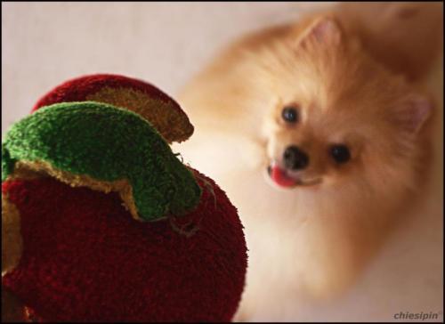 imagen perro pomerania