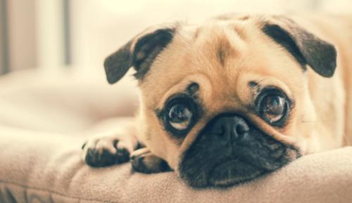 imagenes de un perro pug