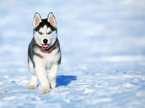 fotos de perritos huskies