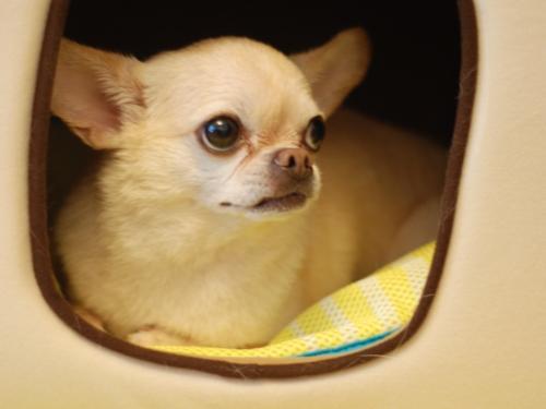 imagenes de perros chihuahua