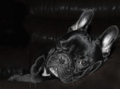 imágenes de bulldog francés