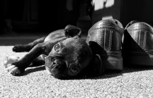 fotos de perros pugs
