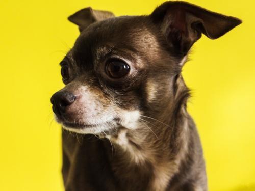 imagenes de perros chihuahua animados