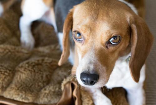 raza de perros beagle fotos