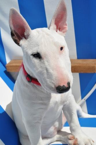 imagenes de bull terrier ingles