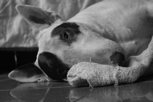 imágenes de perros bull terrier