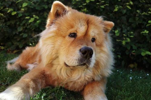 imagenes de perro chow chow