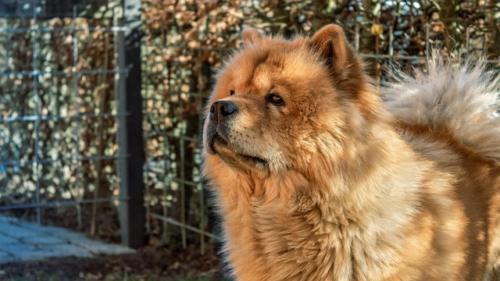 fotos de perro chow chow