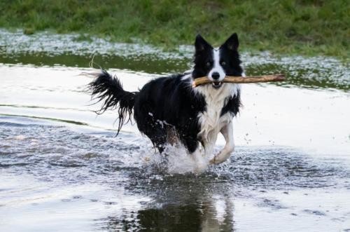 imágenes de perros collie
