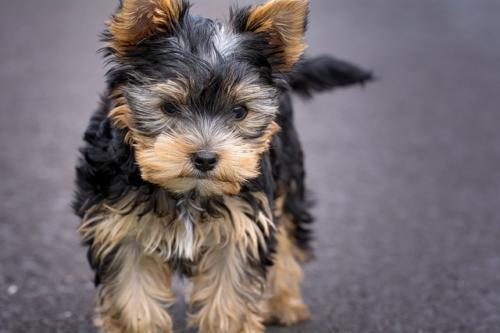 fotos de perros yorkie
