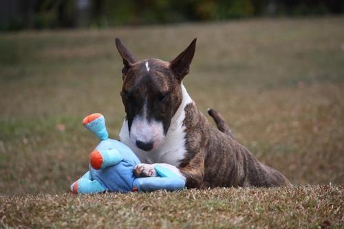 Galería de fotos de bull terrier
