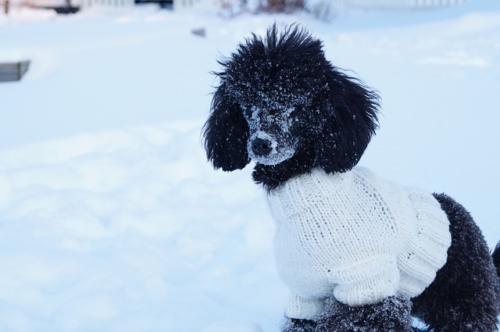 fotos de poodle toy