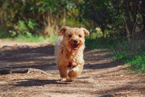 perros yorkshire fotos