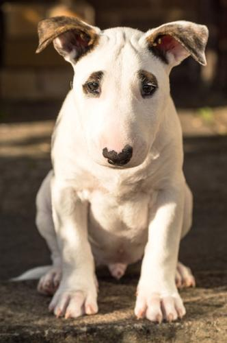 fotos bull terrier