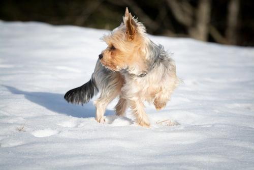 imagenes de perros yorkie