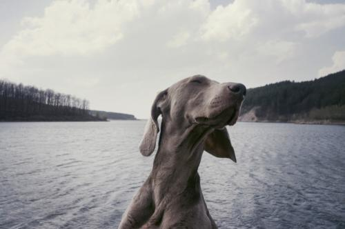 dog-animal-canine-mammal-weimaraner-hunting-dog-87356-pxhere.com