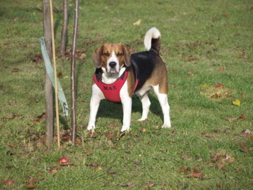 fotos de perros beagle