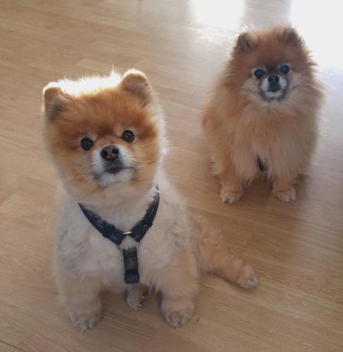 pomeranio adulto y cachorro