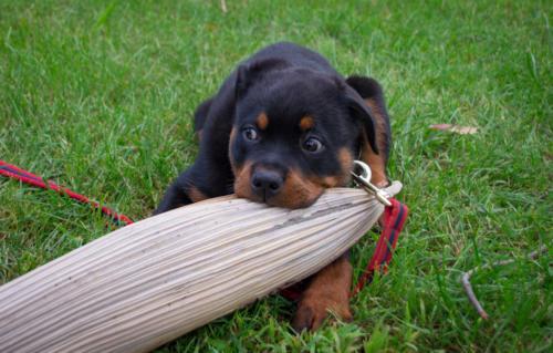 fotos de un perro rottweiler