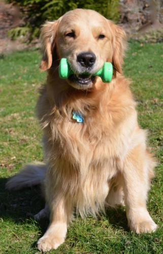 Golden retriever, fotos e imagenes