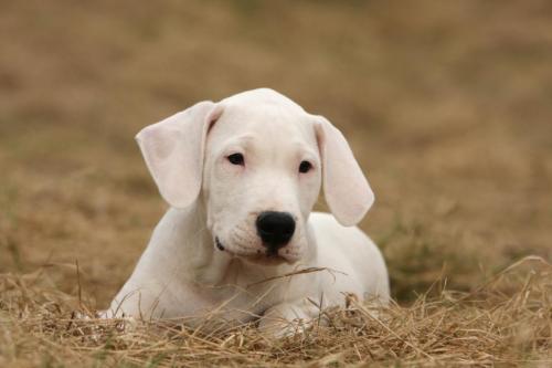 foto de perro dogo argentino