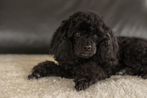 foto de perro poodle