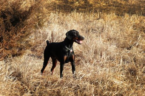 fotos de un perro doberman