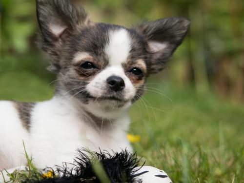 imagenes de perros chiguaguas