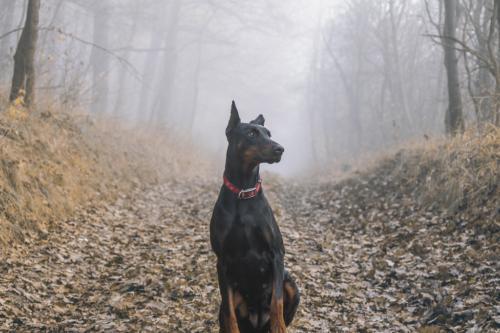fotos de perros doberman