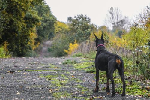 fotos de perro doberman