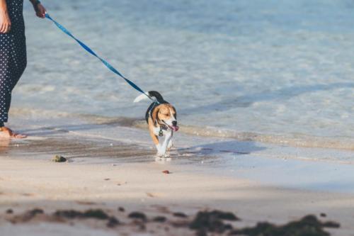 fotos de beagle