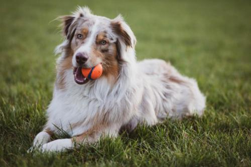 picture-of-an-australian-collie-dog-2326938