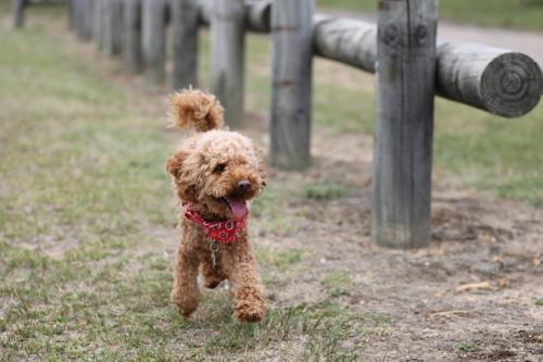 fotos de poodle