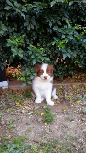 fotos de perro border collie