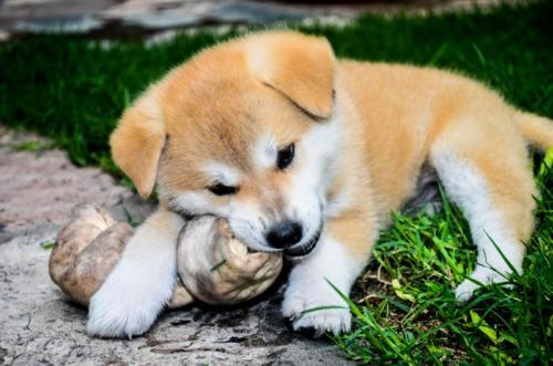 puppy-dog-female-mammal-bone-race-560178-pxhere.com