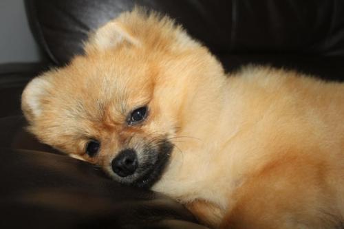 imagenes de perros pomerania