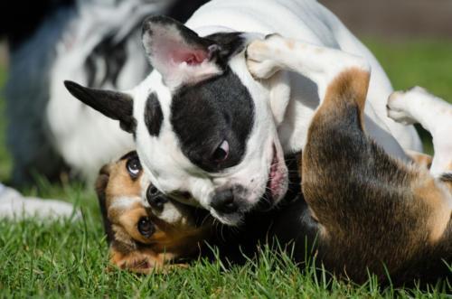 imágenes de un bulldog francés