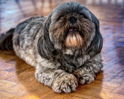 imagenes de perros shih tzu