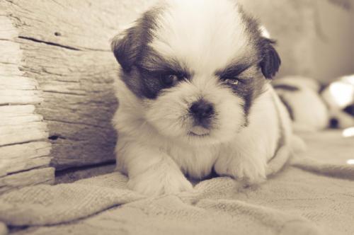 imágenes de perros shitzu