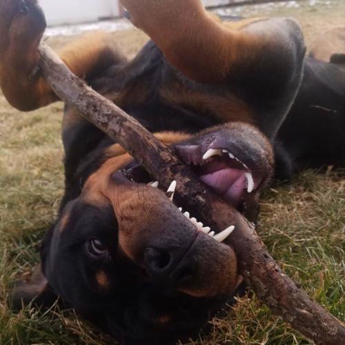 fotos del perro rottweiler