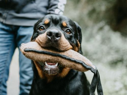 foto de perros rottweiler