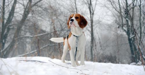 fotos de un beagle