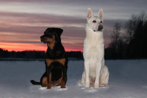 imagen de perro rottweiler